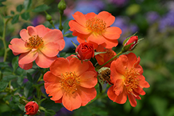Oso Easy® Paprika Rose (Rosa 'ChewMayTime') at Town And Country Gardens