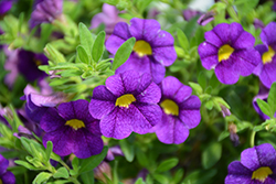 Superbells® Blue Calibrachoa (Calibrachoa 'Superbells Blue') at Town And Country Gardens