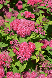 Double Play® Red Spirea (Spiraea japonica 'SMNSJMFR') at Town And Country Gardens