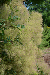 Young Lady Smokebush (Cotinus coggygria 'Young Lady') at Town And Country Gardens