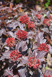 Ginger Wine™ Ninebark (Physocarpus opulifolius 'SMNPOBLR') at Town And Country Gardens