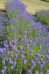 Hidcote Blue Lavender (Lavandula angustifolia 'Hidcote Blue') at Town And Country Gardens