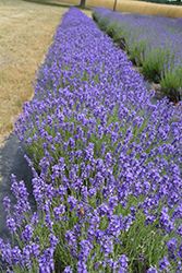 Hidcote Lavender (Lavandula angustifolia 'Hidcote') at Town And Country Gardens