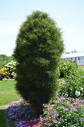 Fine Line® Buckthorn (Rhamnus frangula 'Ron Williams') at Town And Country Gardens