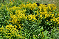 Golden Baby Goldenrod (Solidago canadensis 'Golden Baby') at Town And Country Gardens