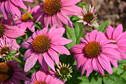 PowWow Wild Berry Coneflower (Echinacea purpurea 'PowWow Wild Berry') at Town And Country Gardens