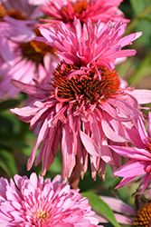 Double Decker Coneflower (Echinacea purpurea 'Double Decker') at Town And Country Gardens