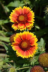 Arizona Sun Blanket Flower (Gaillardia x grandiflora 'Arizona Sun') at Town And Country Gardens