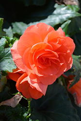 Nonstop® Deep Salmon Begonia (Begonia 'Nonstop Deep Salmon') at Town And Country Gardens