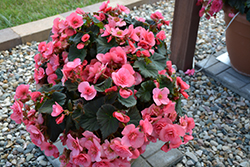 Solenia® Light Pink Begonia (Begonia 'Solenia Light Pink') at Town And Country Gardens