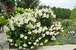 Pinky Winky® Hydrangea (Hydrangea paniculata 'DVPPINKY') at Town And Country Gardens
