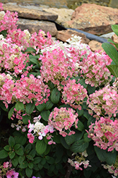 Little Quick Fire® Hydrangea (Hydrangea paniculata 'SMHPLQF') at Town And Country Gardens