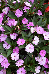 SunPatiens® Vigorous Lavender New Guinea Impatiens (Impatiens 'SunPatiens Vigorous Lavender') at Town And Country Gardens
