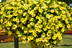 Aloha Canary Yellow Calibrachoa (Calibrachoa 'Aloha Canary Yellow') at Town And Country Gardens