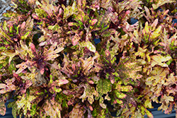Mint Mocha Coleus (Solenostemon scutellarioides 'Mint Mocha') at Town And Country Gardens