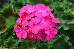 Maverick Rose Geranium (Pelargonium 'Maverick Rose') at Town And Country Gardens