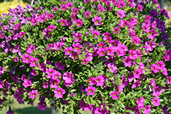 Million Bells® Trailing Pink Calibrachoa (Calibrachoa 'Million Bells Trailing Pink') at Town And Country Gardens