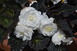 Nonstop® Mocca White Begonia (Begonia 'Nonstop Mocca White') at Town And Country Gardens
