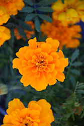 Safari Orange Marigold (Tagetes patula 'Safari Orange') at Town And Country Gardens