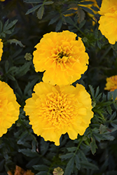 Bonanza Yellow Marigold (Tagetes patula 'Bonanza Yellow') at Town And Country Gardens