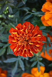 Durango Red Marigold (Tagetes patula 'Durango Red') at Town And Country Gardens