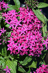 Graffiti® Violet Star Flower (Pentas lanceolata 'Graffiti Violet') at Town And Country Gardens
