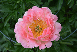 Coral Sunset Peony (Paeonia 'Coral Sunset') at Town And Country Gardens