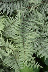 Ghost Fern (Athyrium 'Ghost') at Town And Country Gardens