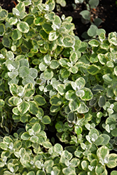 Variegated Licorice Plant (Helichrysum petiolare 'Variegated Licorice') at Town And Country Gardens
