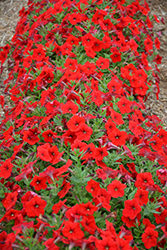 Easy Wave® Red Petunia (Petunia 'Easy Wave Red') at Town And Country Gardens