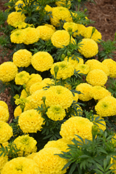 Marvel Yellow Marigold (Tagetes erecta 'Marvel Yellow') at Town And Country Gardens