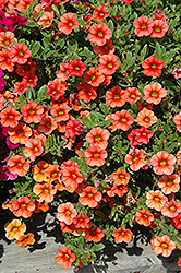 Celebration Mandarin Calibrachoa (Calibrachoa 'Celebration Mandarin') at Town And Country Gardens