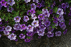 Aloha Blue Sky Calibrachoa (Calibrachoa 'Aloha Blue Sky') at Town And Country Gardens