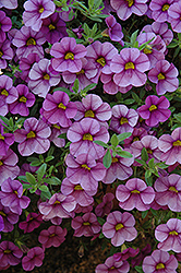 Aloha Purple Sky Calibrachoa (Calibrachoa 'Aloha Purple Sky') at Town And Country Gardens