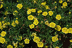 MiniFamous® Double Deep Yellow Calibrachoa (Calibrachoa 'MiniFamous Double Deep Yellow') at Town And Country Gardens