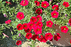 Superbells® Red Calibrachoa (Calibrachoa 'Superbells Red') at Town And Country Gardens