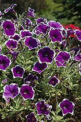 Rhythm And Blues Petunia (Petunia 'Rhythm And Blues') at Town And Country Gardens