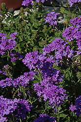 Superbena® Royale Chambray Verbena (Verbena 'Superbena Royale Chambray') at Town And Country Gardens