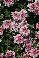 Lanai® Twister™ Pink Verbena (Verbena 'Lanai Twister Pink') at Town And Country Gardens