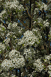 Chanticleer Ornamental Pear (Pyrus calleryana 'Chanticleer') at Town And Country Gardens