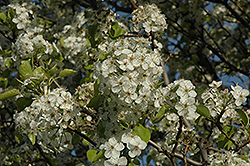 Cleveland Select Ornamental Pear (Pyrus calleryana 'Cleveland Select') at Town And Country Gardens