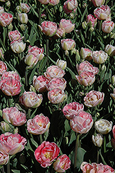 Angelique Tulip (Tulipa 'Angelique') at Town And Country Gardens