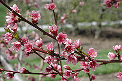 Reliance Peach (Prunus persica 'Reliance') at Town And Country Gardens