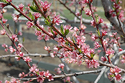 Redhaven Peach (Prunus persica 'Redhaven') at Town And Country Gardens