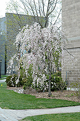 Double Pink Weeping Higan Cherry (Prunus subhirtella 'Pendula Plena Rosea') at Town And Country Gardens