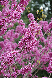 Avondale Redbud (Cercis chinensis 'Avondale') at Town And Country Gardens