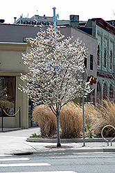 Autumn Brilliance Serviceberry (Amelanchier x grandiflora 'Autumn Brilliance (tree form)') at Town And Country Gardens