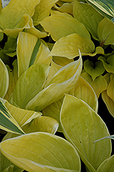 St. Elmo's Fire Hosta (Hosta 'St. Elmo's Fire') at Town And Country Gardens