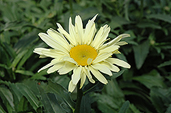 Banana Cream Shasta Daisy (Leucanthemum x superbum 'Banana Cream') at Town And Country Gardens