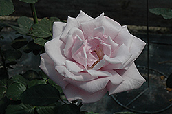 Sterling Silver Rose (Rosa 'Sterling Silver') at Town And Country Gardens